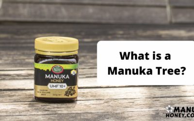 what is a manuka tree?